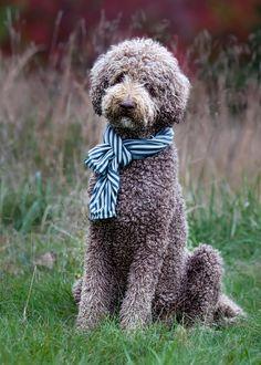 "standard ""royal"" poodle (my big baby boy) chocolate"