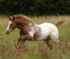 Chestnut blanketed Appaloosa colt Skiptified