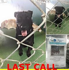 LAST CALL! LAST CALL! LAST CALL!   Rusty #A1669339. So much cuter in person. Just a little shy..overcoming his fear. Curious but cautious year old lab mix at MDAS — hier: Miami Dade County Animal Services. https://www.facebook.com/urgentdogsofmiami/photos/pb.191859757515102.-2207520000.1420578407./904071832960554/?type=3&theater