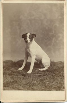 Cabinet card of Jack Russell terrier