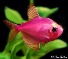 Strawberry Skirt Tetra