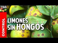 Como cuidar un limonero de las 4 estaciones - Cosas del Jardin Pinch Pots, Fruit Garden, Horticulture, Indoor Plants, Planters, Youtube, Ideas Para, Homestead, Glaze