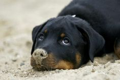 Rottweiler with sand on nose. (Those precious Rottie eyes! Rottweiler Pictures, Rottweiler Funny, Rottweiler Puppies, Beagle, Top 10 Dog Breeds, Large Dog Breeds, Cute Puppies, Cute Dogs, Dogs And Puppies