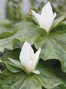 Vita treblad skuggväxt