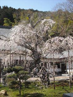桜の懐:魚の庭 <2013-03-22>