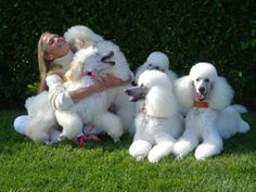 omg white heaven, best poodle pic ever! new yorker poodles