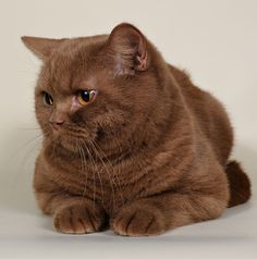British Shorthair Cinnamon Cat