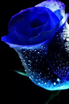 Dark blue flowers iPhone wallpapers, Background and Themes Blue Flowers Images, Dark Blue Flowers, Flower Images, Flower Pictures, Beautiful Flowers Wallpapers, Beautiful Rose Flowers, Exotic Flowers, Amazing Flowers, Flowers Nature