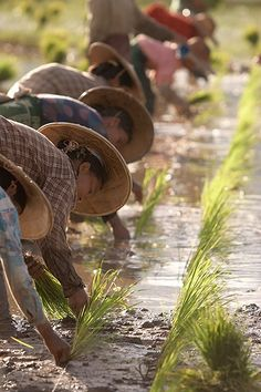 Planting rice in Myanmar.