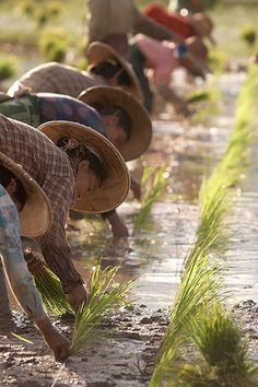 Planting rice in Myanmar.