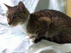 SAFE! TO BE DESTROYED 4/17/14 ** PLEASE HELP SAVE THIS PRETTY KITTY TONIGHT!! ** Manhattan Center  My name is HENNESEY. My Animal ID # is A0996064. I am a female brn tabby and white domestic sh mix. The shelter thinks I am about 5 YEARS old.  I came in the shelter as a OWNER SUR on 04/08/2014 from NY 10456, owner surrender reason stated was BITEPEOPLE.
