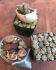Happy Hump Day from my lovely lady lumps 🍑😂🍑😂🍑••• • • • #humpday #luv_succs #succulove #succulents #lithops #mimicry #cactus #weirdos