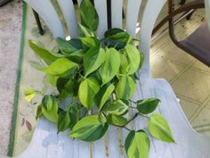 VARIEGATED-PHILODENDRON-LEMON-LIME-VINE-PLANT-HOUSEPLANT-TROPICAL