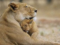 Funny animals with you'll always be my baby lion cub. Funny animals picture with caption. Animals And Pets, Baby Animals, Funny Animals, Wild Animals, Cut Animals, Animal Babies, Beautiful Creatures, Animals Beautiful, Beautiful Images