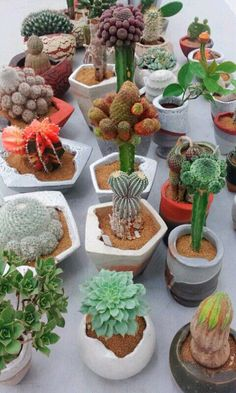 Cactus and succulents Succulents In Containers, Cacti And Succulents, Planting Succulents, Cactus Plants, Succulent Bonsai, Succulent Gardening, Mini Plantas, Grafted Cactus, Rock Garden Plants
