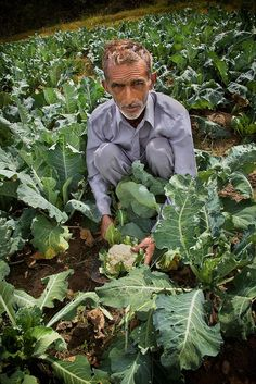 harvesting cauliflower, Himachal Pradesh, India
