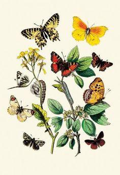 Butterflies: E. Belemia, E. Tagis, et al. 20x30 poster