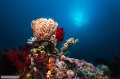 Primitive beauty Collection of Crinoids, sponges and corals in the Philippines