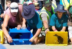 49 penguins freed after rescue from New Zealand oil spill - Animal Tracks
