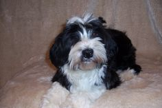 tibetan Terrier photo | Domani Tibetan Terriers: Our Dogs - Photo Gallery, Album 5, Photo 8