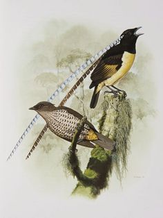 Male and female King of Saxony Birds of Paradise from the 'Rituals of Seduction: Birds of Paradise' exhibition