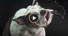 Provavelmente o Vídeo Mais Louco De Cães Que Irá Ver Hoje