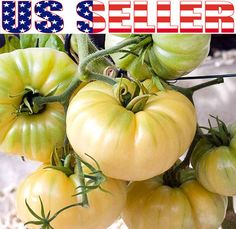 30 Organically Grown Giant Great White Beefsteak Tomato Seeds Heirloom Non GMO | eBay