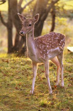 Animal Planet_Fallow Deer