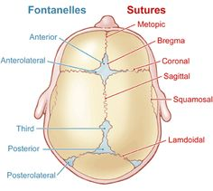skull sutures in neonate - Google Search