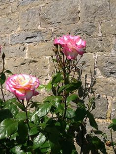Roses at  Pear Tree Farm, Ludlow, Herefordshire, England