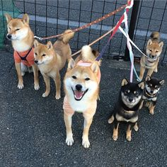 O my goodness i love shiba inus! Animals And Pets, Baby Animals, Funny Animals, Cute Animals, Japanese Dog Breeds, Japanese Dogs, Really Cute Puppies, Cute Dogs, Chien Akita Inu