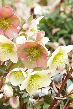 HELLEBORUS With its glossy green foliage and ombré-esque petals, these pretties are a must-have. (Segale's favorite variety is the veiny pink Phoenix.) Plant these guys directly in the ground and give 'em partial shade and they'll quickly double in size. Fall Plants, Shade Plants, Best Perennials, Blooming Plants, Flowering Plants, Spring Blooms, Autumn Garden, Fall Flowers, Shade Garden
