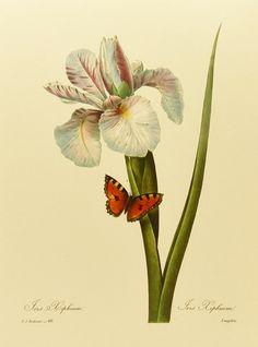 Botanical Print, Redoute Iris No. 60                                                                                                                                                                                 Mais