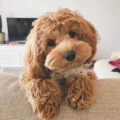 Super cute puppies that will make you go awww – Cute Animals Super Cute Puppies, Cute Baby Dogs, Cute Dogs And Puppies, Pet Dogs, Cute Babies, Doggies, Adorable Puppies, Chien Goldendoodle, Cavapoo Puppies