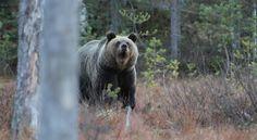 Utelias kettu ja muita nisäkkäitä - Juha Laaksonen, Riku Lumiaro - Photo by Riku Lumiaro #kirja #luontokirja #eläinkirja #luonto #eläimet #nisäkkäät #karhu