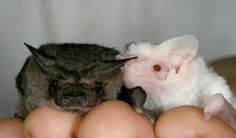 One of the rarest bats in the world, a completely white (albino) freetail bat, with a typically-coloured dark bat. IMAGE CREDIT: Courtesy of Tolga Bat Hospital Amazing Animals, Melanism, Cute Bat, Cute Baby Bats, Creatures Of The Night, Rare Animals, Tier Fotos, Animal Drawings, Animal Photography