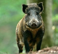 Different Breeds of Wild Hogs | Types Of Wild Pigs Wild boar in a bavarian forest