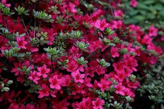 Companion planting is an excellent way to improve your garden. Some plants replenish nutrients lost by another one, and some combinations effectively keep pests away. Azalea Flower, Plants, Shrubs, All Flowers, Flowers, Planting Shrubs, Showy Flowers, Ornamental Plants, Azaleas