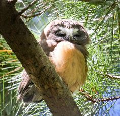 Saw Whet Owl - Carmel-by-the-Sea, CA