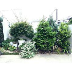 mi-さんの、ギボウシ,モッコウバラ白,もみの木,玄関アプローチ,ブリムストーン,グリーン,植物,玄関/入り口,のお部屋写真