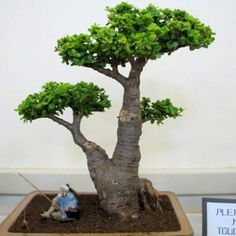 Jade Tree Plant | ... - Indigenous Live Succulent Plants - Mini Jade Tree Bonsai Plant