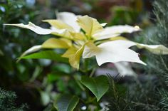 White Poinsettia at A Nest for All Seasons