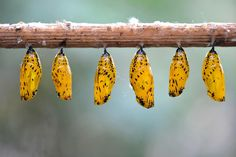 Why Do Butterflies Have Such Vibrant Colors and Patterns? Colors give butterflies camouflage, which helps them avoid hungry predators. The Sheen of these Gold Chrysalides offers a shield of camouflage for Paper Kite Butterflies growing inside them. Photograph by Michael Weber, Imagebroker ~ Corbis.