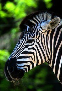 ...'stereo zebras'