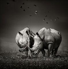 【野生動物 Wildlife】 Photograph - Two Rhinoceros With Birds In Bw by Johan Swanepoel