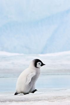 Emperor Penguin Chick >>> what a cutie!