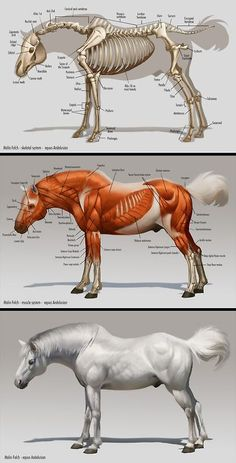 Anatomy Drawing Reference this post is horse anatomy. I like how it has both the skeleton and the muscles. I also like that you can compare it to an outside view of the horse. Anatomy Study, Anatomy Drawing, Anatomy Reference, Art Reference, Skin Anatomy, Horse Anatomy, Animal Anatomy, Horse Drawings, Animal Drawings