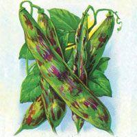 Bean : Dragon Tongue - High yield tender crop, a favored canning bean