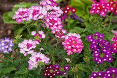 Kerti Verbéna (Verbena × hybrida) gondozása, szaporítása (Kerti Vasfű) Verbena, Garden Landscaping, Flowers, Plants, Landscapes, Gardening, Front Yard Landscaping, Paisajes, Scenery