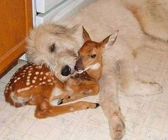 A family took in a orphan deer whose mother was killed. The family dog hasn't left her side.